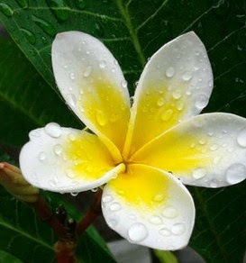 Kandungan Kimia Bunga Kamboja Putih Dunia Kita